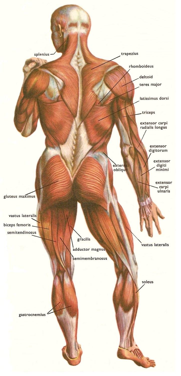 Zmogus anatomija