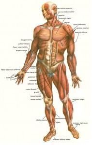 Zmogaus kuno raumenys is priekio_didelis